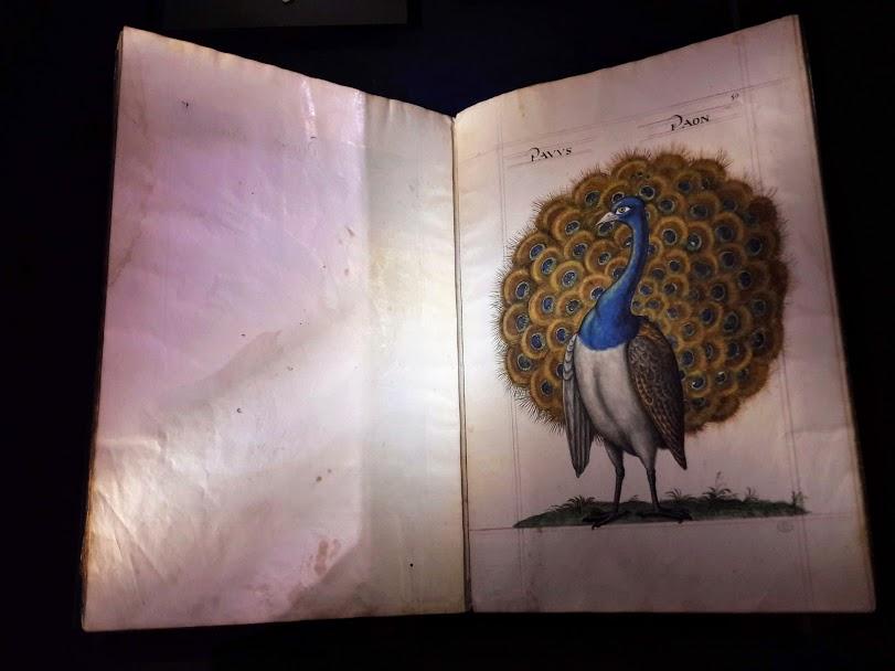 livre archive dessin de paon
